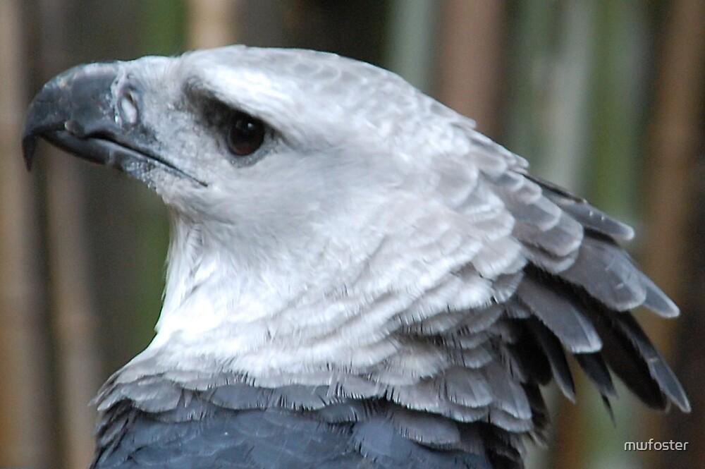 Harpie Eagle by mwfoster