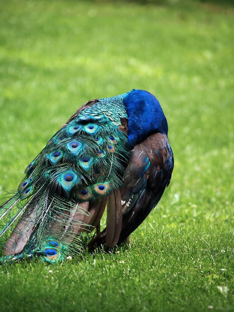 Preening Peacock by jessawa21