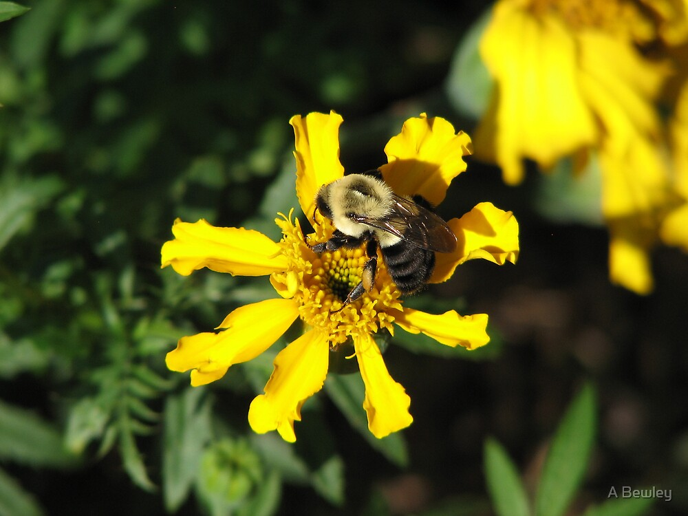 Bumble Bee by A Bewley