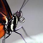 Close-up Hecale Longwing by Jo Nijenhuis