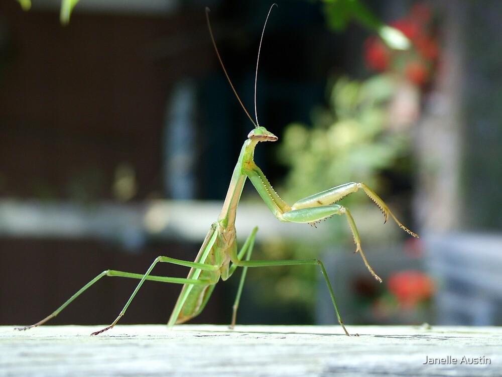 Praying Mantis by Janelle Austin