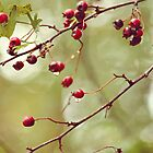 red berries by SylviaCook