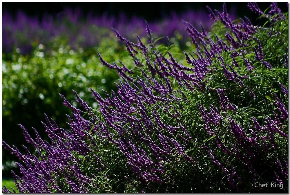 Lavender Landscape by Chet  King