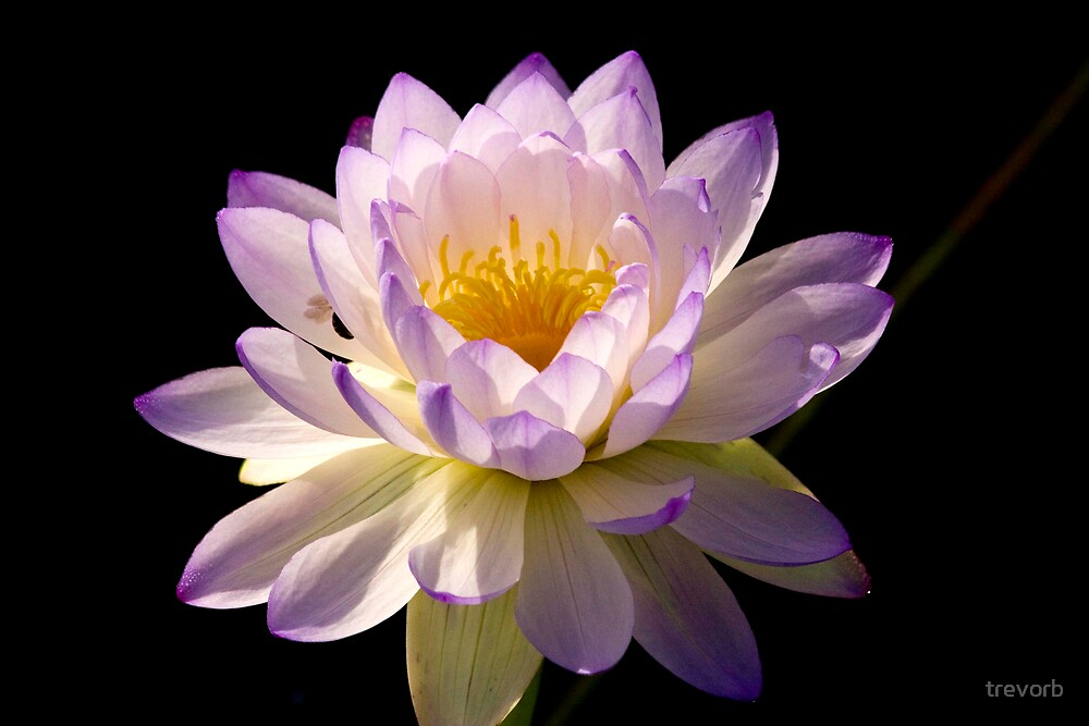 Lotus Lily. by trevorb