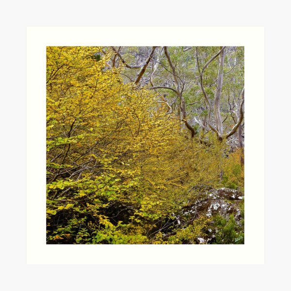 FAGUS ~ SCENES & SCENERY ~ Gorgeousness by tasmanianartist Art Print