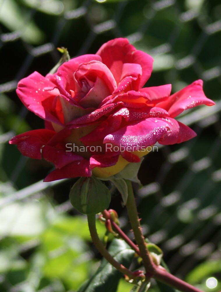 Wet Pink Rose by Sharon Robertson
