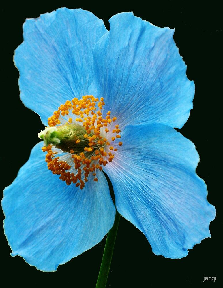 Himalayan Blue Poppy by jacqi