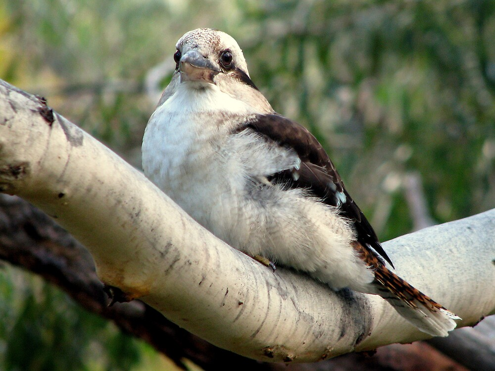 Kookaburra Sits In The Old Gum Tree by Robert Jenner