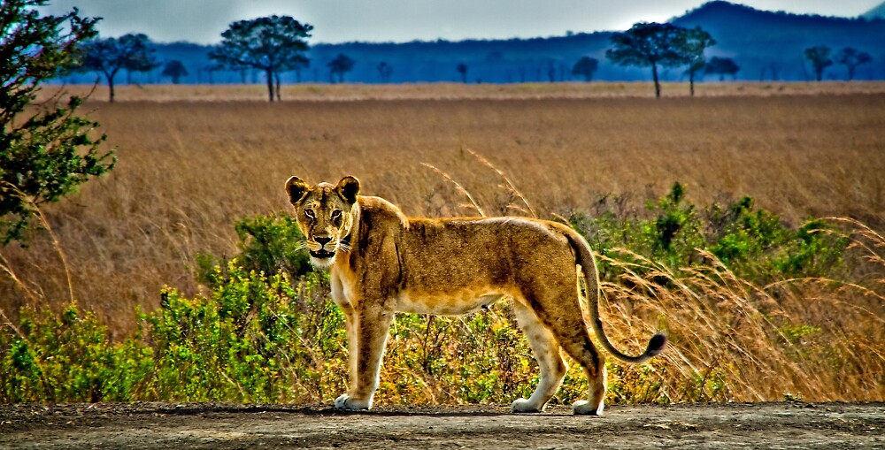 Lioness Stare by Scott Ward