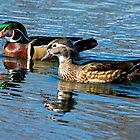 Wood ducks out for a swim by TJ Baccari Photography
