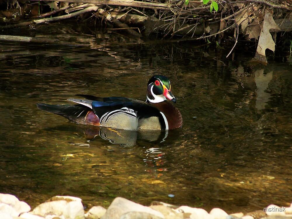 Wood Duck by mstinak