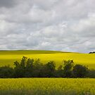 Canola Field by RobertCharles