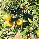 Orange tree by Fay  Hughes