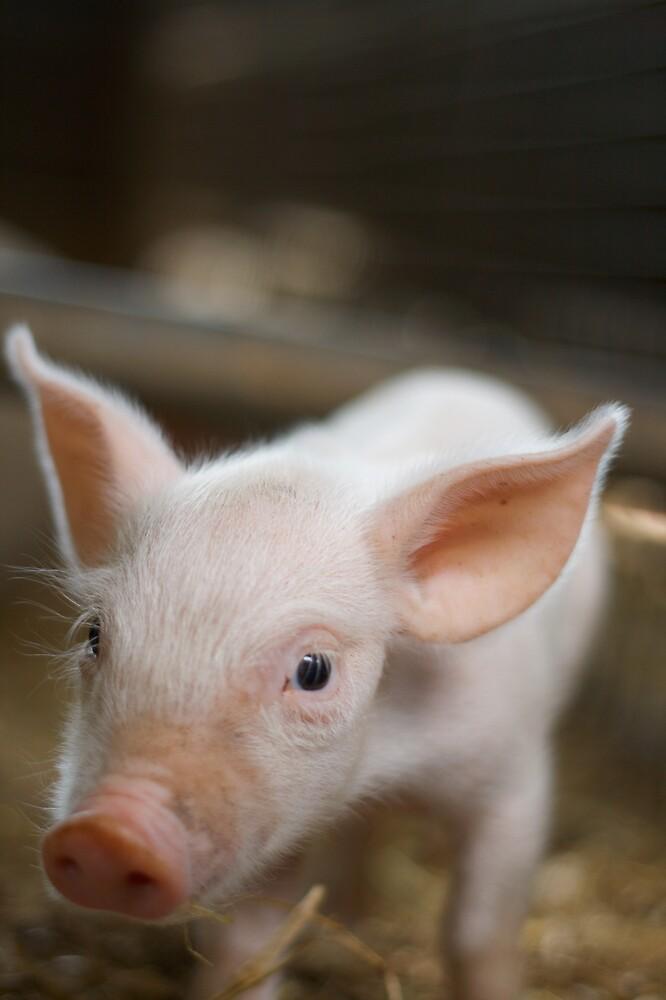 Piglet by Mattphotos