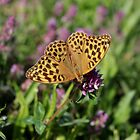 Silver-washed Fritillary by cuprum