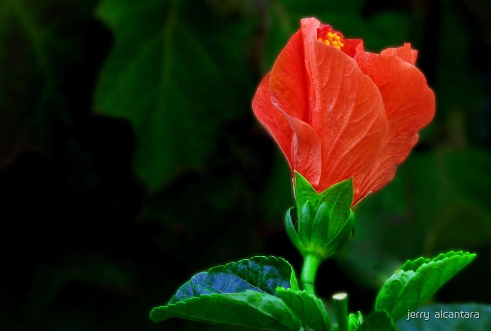 Hibiscus by jerry  alcantara
