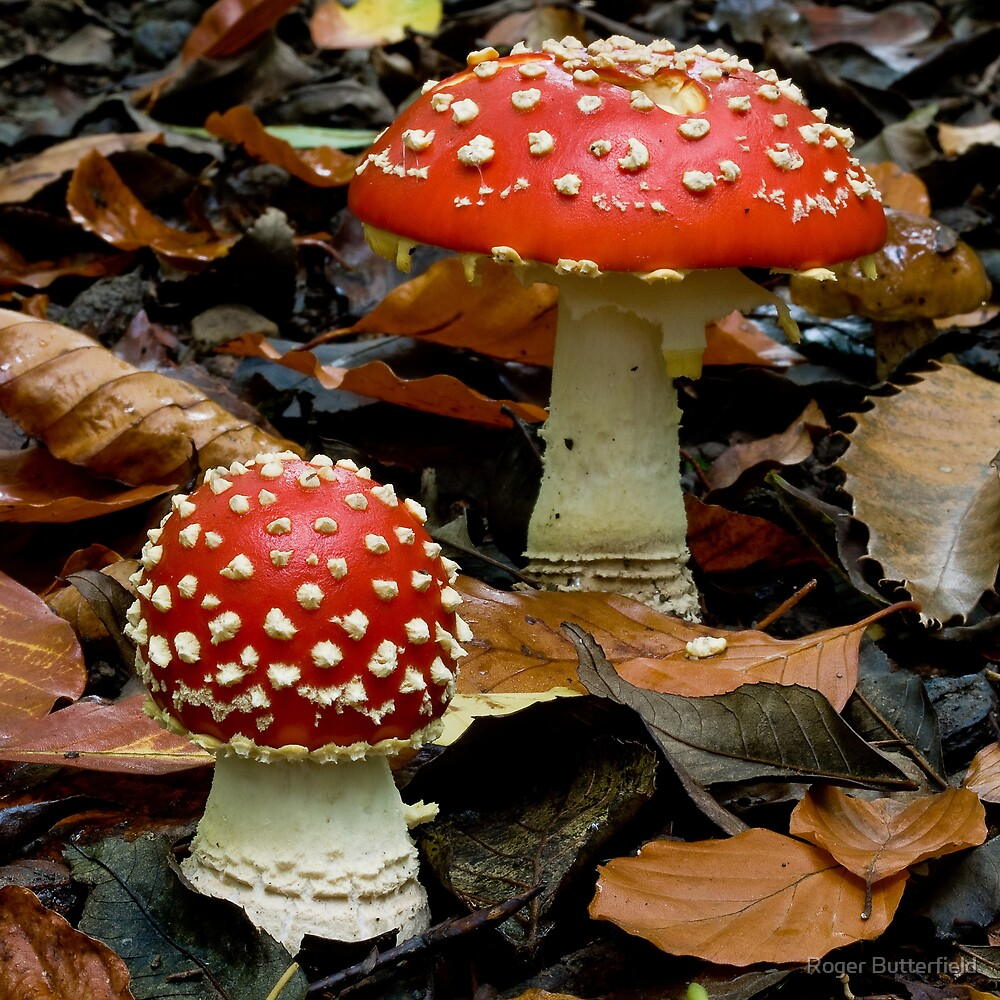 Fly Agarics by Roger Butterfield