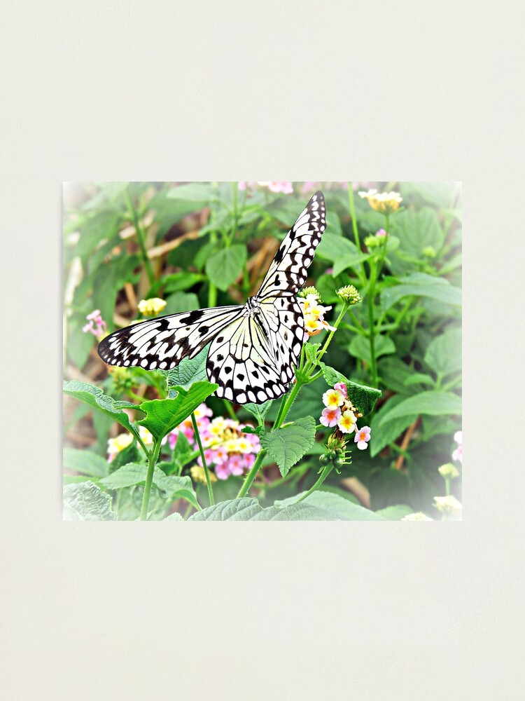 Alternate view of The Common Mime Butterfly on flowers Photographic Print