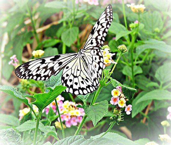 The Common Mime Butterfly on flowers by ScenicViewPics
