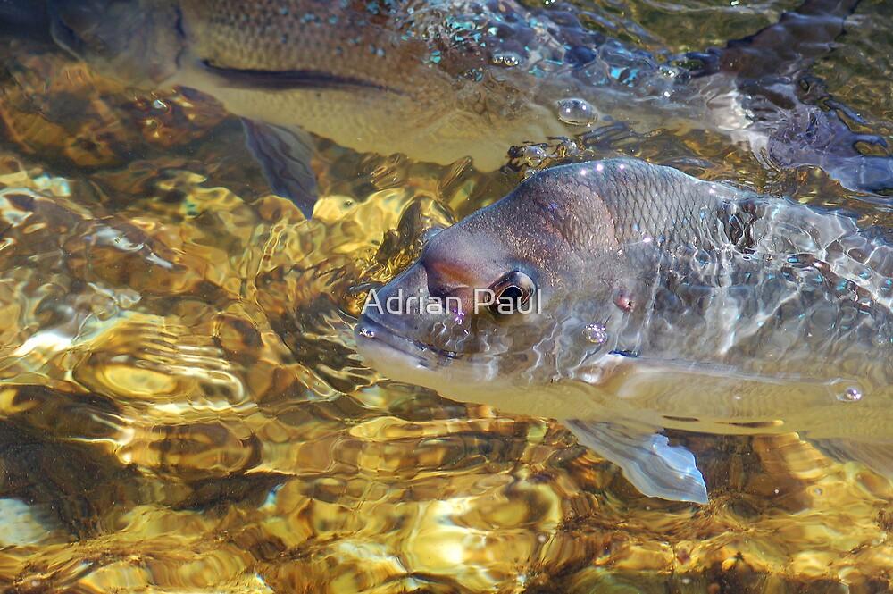 Happy Snapper, Shark Bay, Western Australia by Adrian Paul