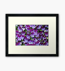 Miniature pansies Framed Print