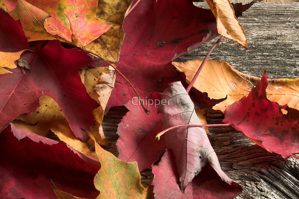 Autumn Leaves 10-08 by Chipper