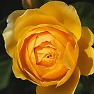 Golden Rich Beautiful Rose by Joy Watson