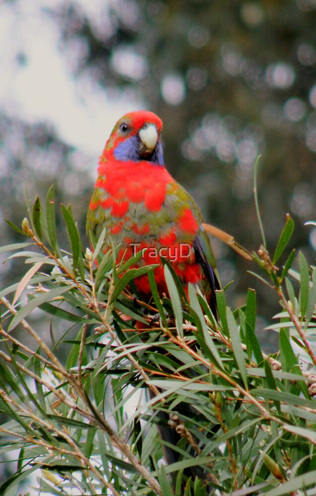 Juvenile Rosella! by TracyD