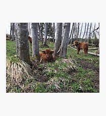 Scottish Highland Cattle Calves 1393 Photographic Print