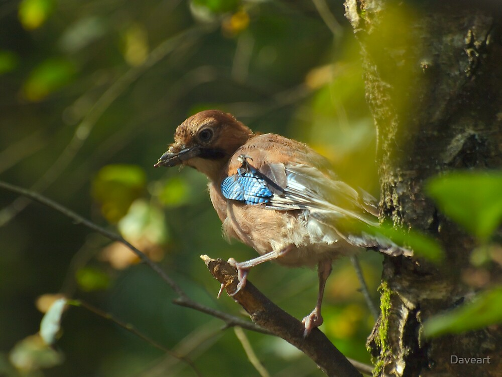 Common Jay by Daveart