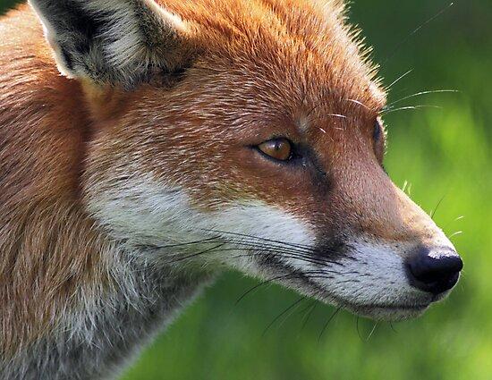 Autumn Fox by Krys Bailey