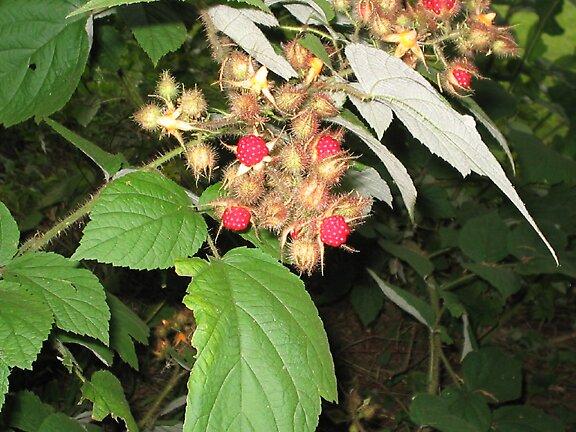 Raspberries by DeaconBlues