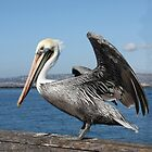 Pelican, Ready For Take-Off! ( California USA) by Heather Friedman