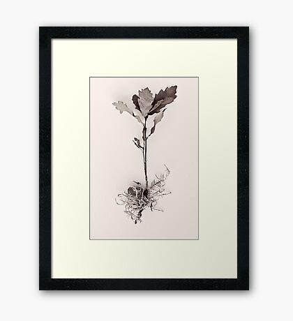 Little Acorns Framed Print