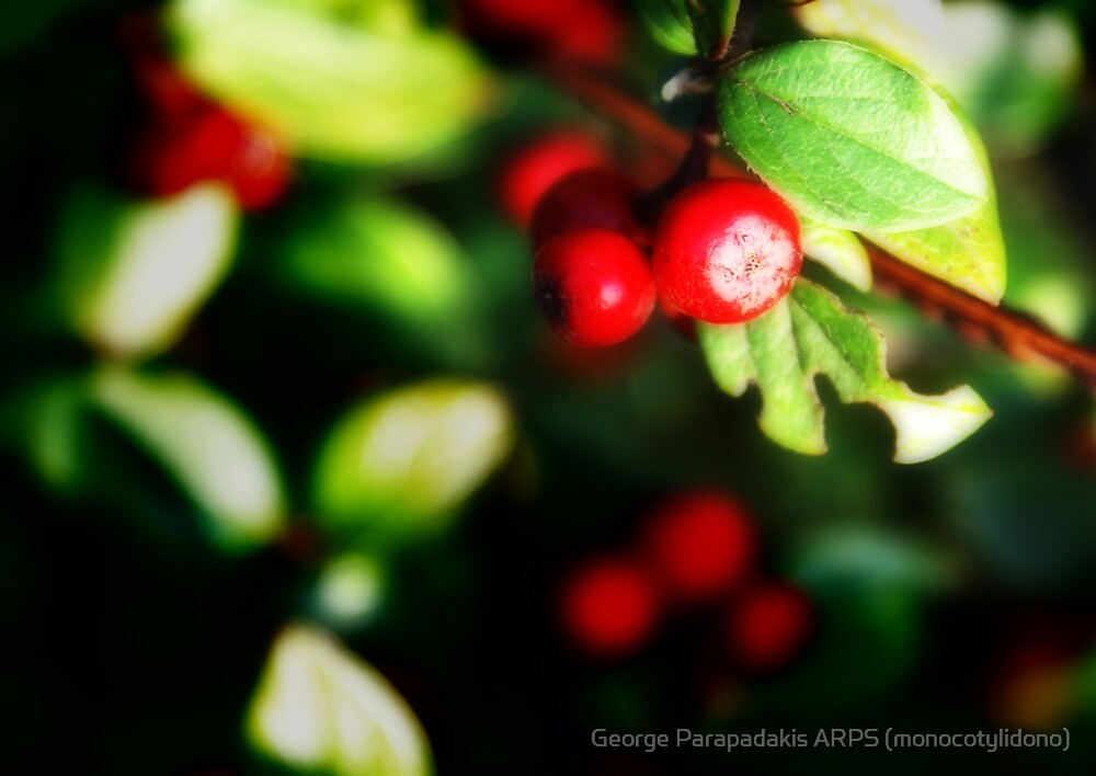 Ortumn berries by George Parapadakis ARPS (monocotylidono)