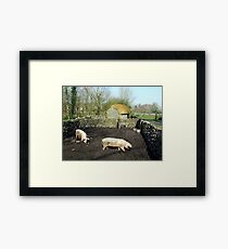 Two pigs in rural Ireland Framed Print