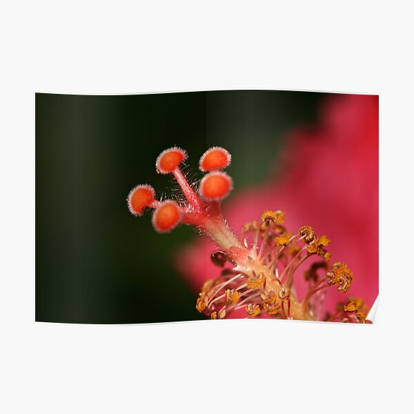 Tip Of The Hibiscus Poster
