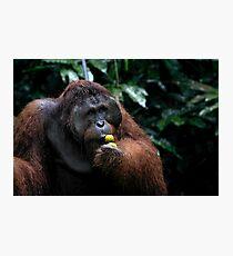 """George"" Large male Orangutan, Borneo  Photographic Print"