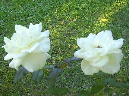 Kennedy Roses by the pair by Thomas Josiah Chappelle