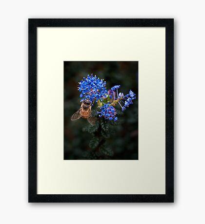 Biene auf Ceanothus Gerahmtes Wandbild