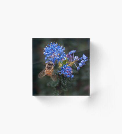 Biene auf Ceanothus Acrylblock