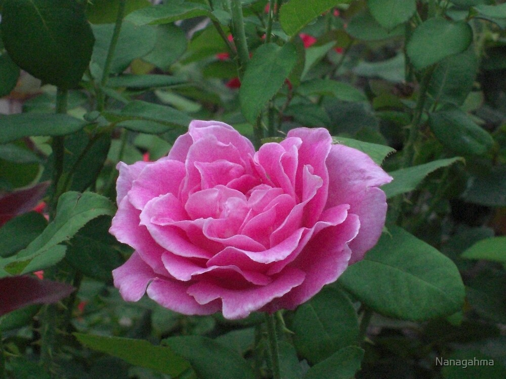 Fragrant Memories rose blossom by Nanagahma