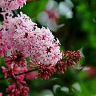 Showy Pink Lilacs by Debbie Oppermann