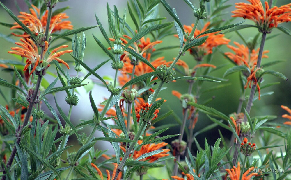 Orange Beauty by Laura Puglia