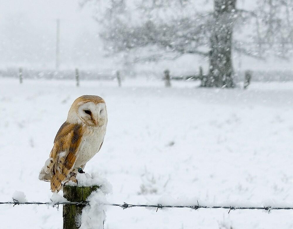 Snowy Barn Owl by Mike Ashton