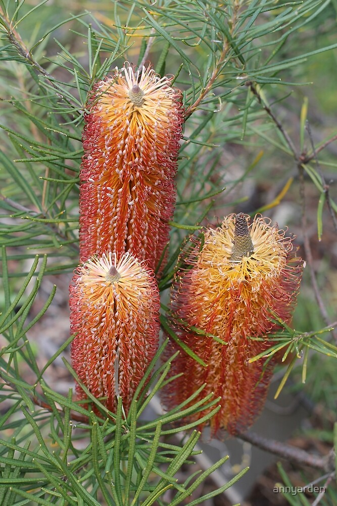 Banksia spinulosa var. spinulosa by Anny Arden