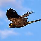 Yellow Tailed Black Cockatoo  by Robert Elliott