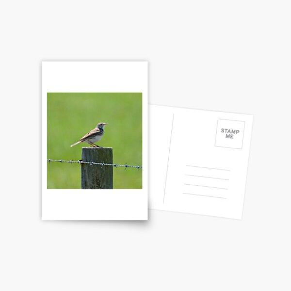 PIPIT ~ Australasian (Richards) Pipit QenxyAwk by David Irwin Postcard