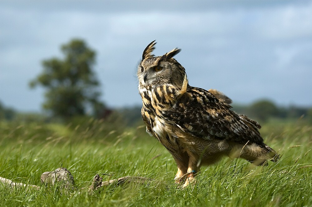 Eagle Owl by Mike Ashton