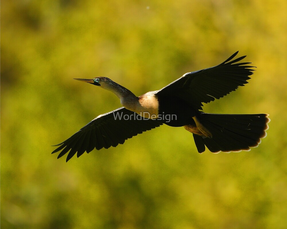 Anhinga in Flight by WorldDesign